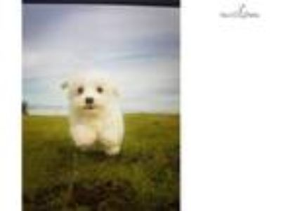 Toy Akc Purebred Maltese Puppy