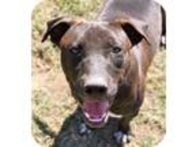 Adopt Christian a Pit Bull Terrier / Mixed dog in Memphis, TN (10898788)
