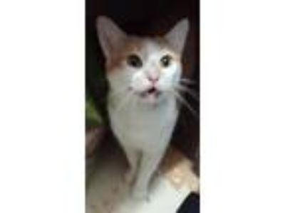 Adopt Jewel a American Shorthair