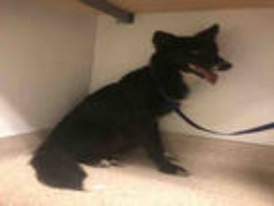 Adopt *GALAXY a Black - with White Border Collie / Mixed dog in Bakersfield