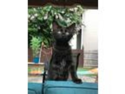 Adopt Ava a All Black Domestic Shorthair (short coat) cat in Duluth