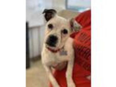 Adopt Brie a White Boston Terrier / Jack Russell Terrier / Mixed dog in Chicago