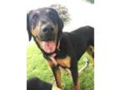 Adopt Bruno Mars a Black Rottweiler / Hound (Unknown Type) / Mixed dog in