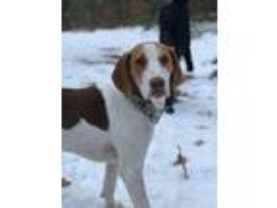 Adopt Scout (Fostered in New England) a Hound, Brittany Spaniel