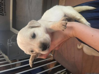 cdf Golden Retriever Puppies for sale