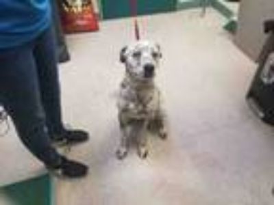 Adopt LUKE DANES a Pointer, Australian Cattle Dog / Blue Heeler