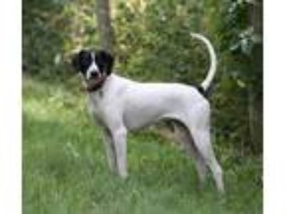 Adopt Sydney- Foster Home Needed a White - with Black English Pointer / Pointer