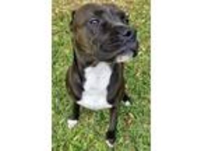 Adopt Cuddly Gypsy a American Staffordshire Terrier, Pit Bull Terrier