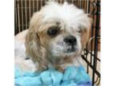 Adopt Juno a White - with Brown or Chocolate Shih Tzu / Mixed dog in Tavares