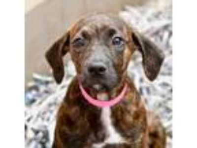 Adopt Periwinkle a Hound, Pit Bull Terrier