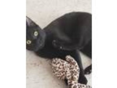 Adopt Lucy Binx a All Black American Shorthair cat in Pine Bush, NY (25872439)