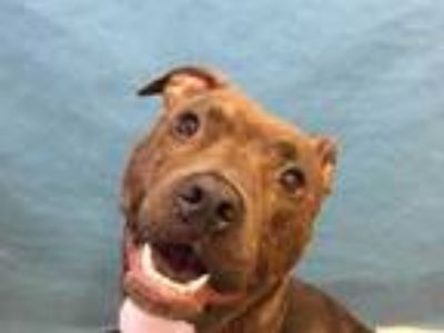 Adopt Bea a Brindle American Pit Bull Terrier / Mixed dog in Woodbury