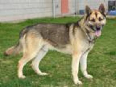 Adopt ROCKY a German Shepherd Dog, Mixed Breed