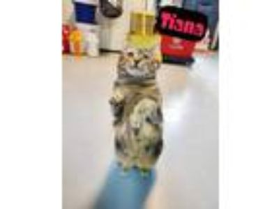 Adopt Tiana a Brown Tabby Domestic Shorthair / Mixed (short coat) cat in Troy