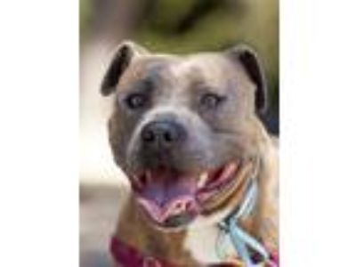Adopt Loaf a Brindle - with White American Pit Bull Terrier / Mixed dog in