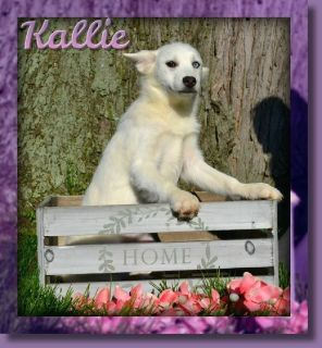 Kallie Female Pomsky