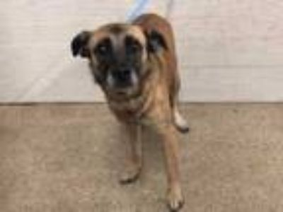 Adopt HELENA a Tan/Yellow/Fawn - with Black German Shepherd Dog / Mixed dog in