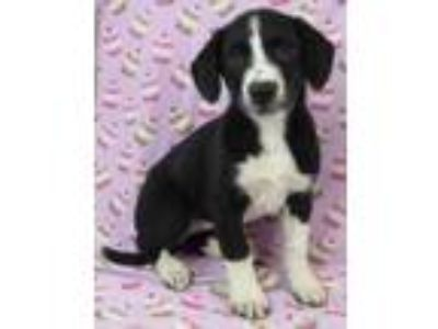 Adopt Jessica a Black Border Collie / Mixed dog in Morton Grove, IL (25644369)