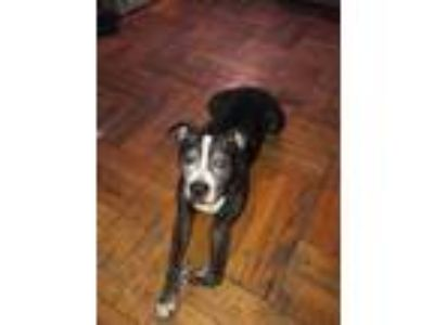 Adopt Max (OS) a Black American Pit Bull Terrier dog in Whitestone