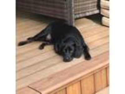 Adopt Luke Cage a Black Labrador Retriever / Basset Hound dog in Pendleton