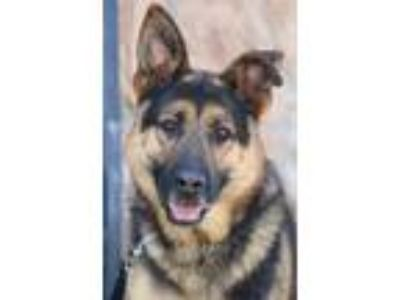 Adopt Brody von Brebel a Black - with Tan, Yellow or Fawn German Shepherd Dog /