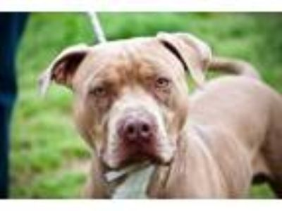 Adopt Remi a Pit Bull Terrier