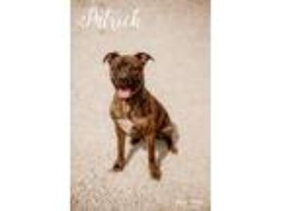 Adopt Patrick a Pit Bull Terrier