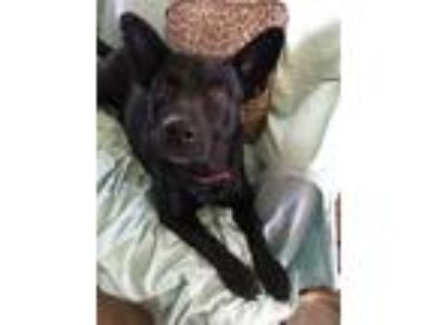 Adopt Bart a Black German Shepherd Dog / Labrador Retriever dog in Fairhope