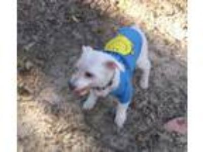 Adopt Pappy a White Poodle (Miniature) / Mixed dog in Garland, TX (25313665)