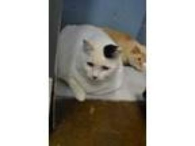Adopt MISS KITTY a White (Mostly) Domestic Shorthair / Mixed (short coat) cat in