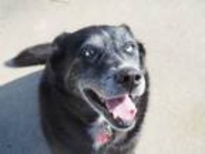 Adopt Odessa a Black - with White Husky / Shepherd (Unknown Type) / Mixed dog in