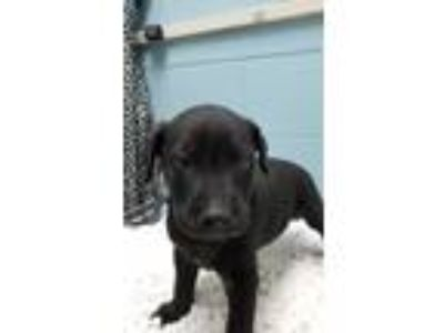 Adopt Dozer a Black Labrador Retriever / Shepherd (Unknown Type) / Mixed dog in