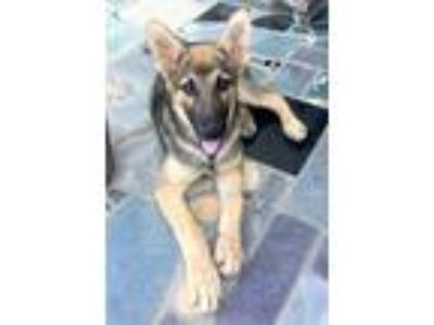 Adopt ROMEO a Red/Golden/Orange/Chestnut - with Black German Shepherd Dog /