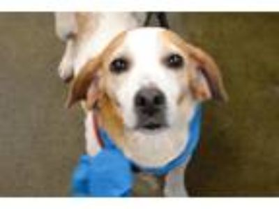 Adopt Jewel #1316 a Brown/Chocolate - with White Beagle / Mixed dog in Arlington