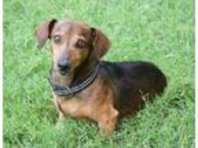 Adopt Choco Latte a Brown/Chocolate - with Black Dachshund / Mixed dog in