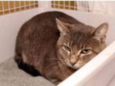 Adopt Smokey a Tabby, Domestic Short Hair