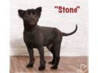 Adopt Stone a Chow Chow