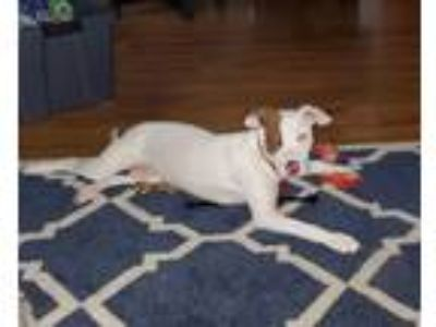 Adopt Willow Talbot a Hound, Pit Bull Terrier