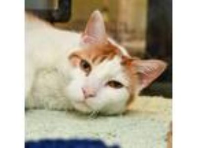 Adopt Dax -- Bonded Buddy With Dev a Domestic Shorthair / Mixed cat in Des