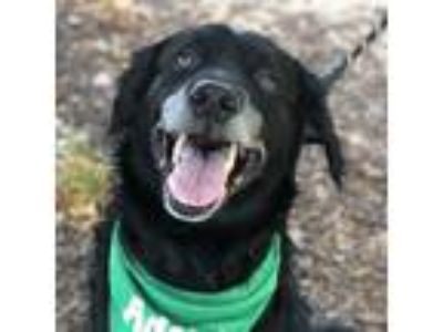 Adopt Efron a Black Labrador Retriever / Mixed dog in Itasca, IL (25880165)