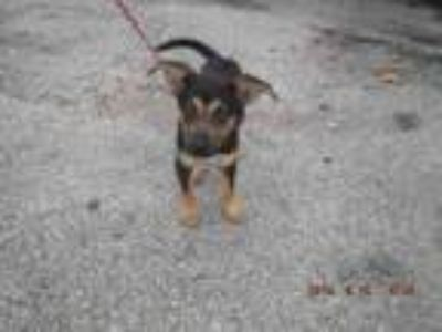 Adopt MIRACLE a German Shepherd Dog, Mixed Breed