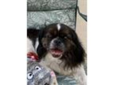 Adopt Charlie a Black - with White Shih Tzu / Pekingese / Mixed dog in Santa