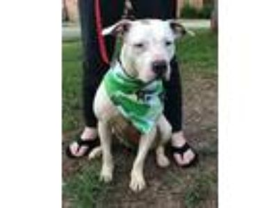 Adopt Tiffany a Pit Bull Terrier