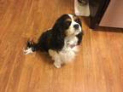 Adopt Lyla a Black - with White Cavalier King Charles Spaniel / Mixed dog in
