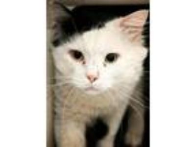 Adopt Glenn a Domestic Long Hair