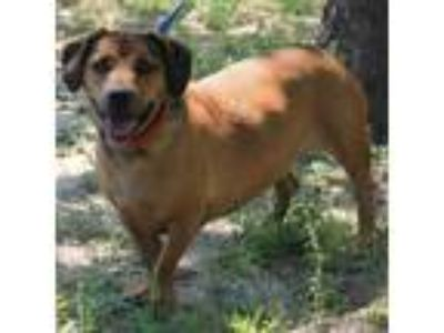 Adopt Niko a Brown/Chocolate Basset Hound dog in Lake Panasoffkee, FL (24943113)