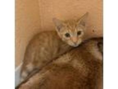 Adopt Jamie a Domestic Shorthair / Mixed cat in Pleasant Hill, CA (25922742)