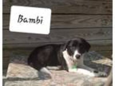 Adopt Bambi a Border Collie