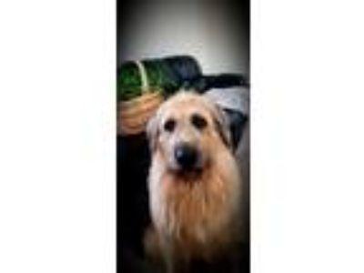 Adopt Aspen a Irish Wolfhound