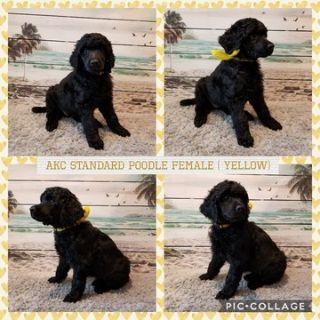 Poodle (Standard) PUPPY FOR SALE ADN-104350 - AKC BLACK STANDARD POODLE PUPS